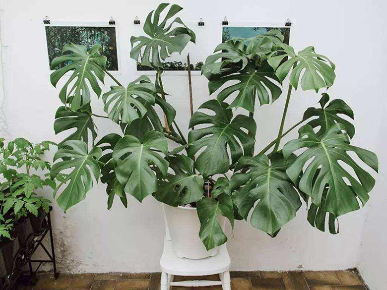 除甲醛植物-龟背竹