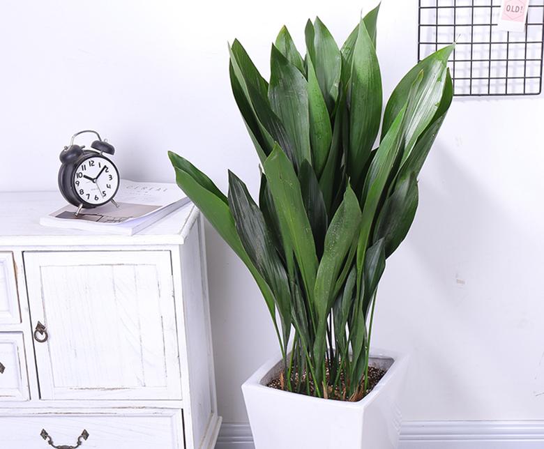 除甲醛植物-一叶兰