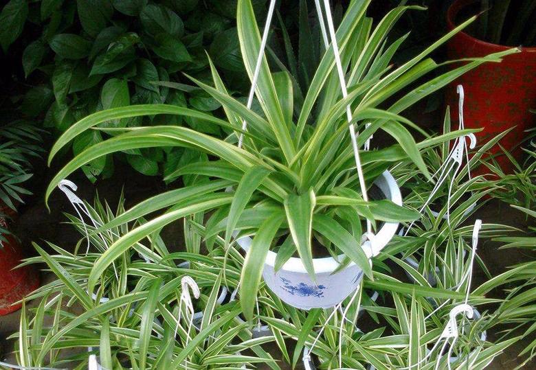 除甲醛植物-吊兰